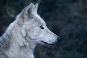 Parc des loups proche du Camping des Gorges du Tarn - Sainte Enimine
